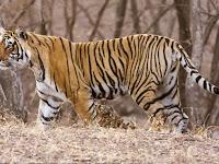 Harimau Ompong Cakar Seorang Wanita Hingga Tewas
