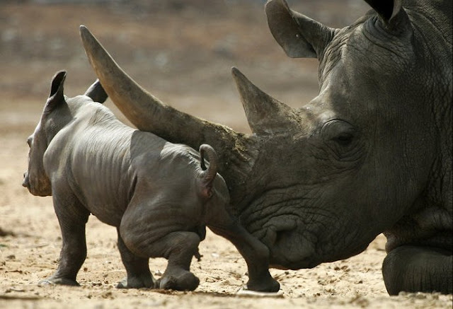 baby animals, cute animals, baby rhino