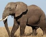 all essay short essay on elephant words the elephant is a very huge animal it grows a height of about 10 feet it is usually coarse dark in color its skin is too hard for any kind of thorns to