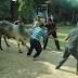 Pelaksanaan Korban Idul Adha 2014