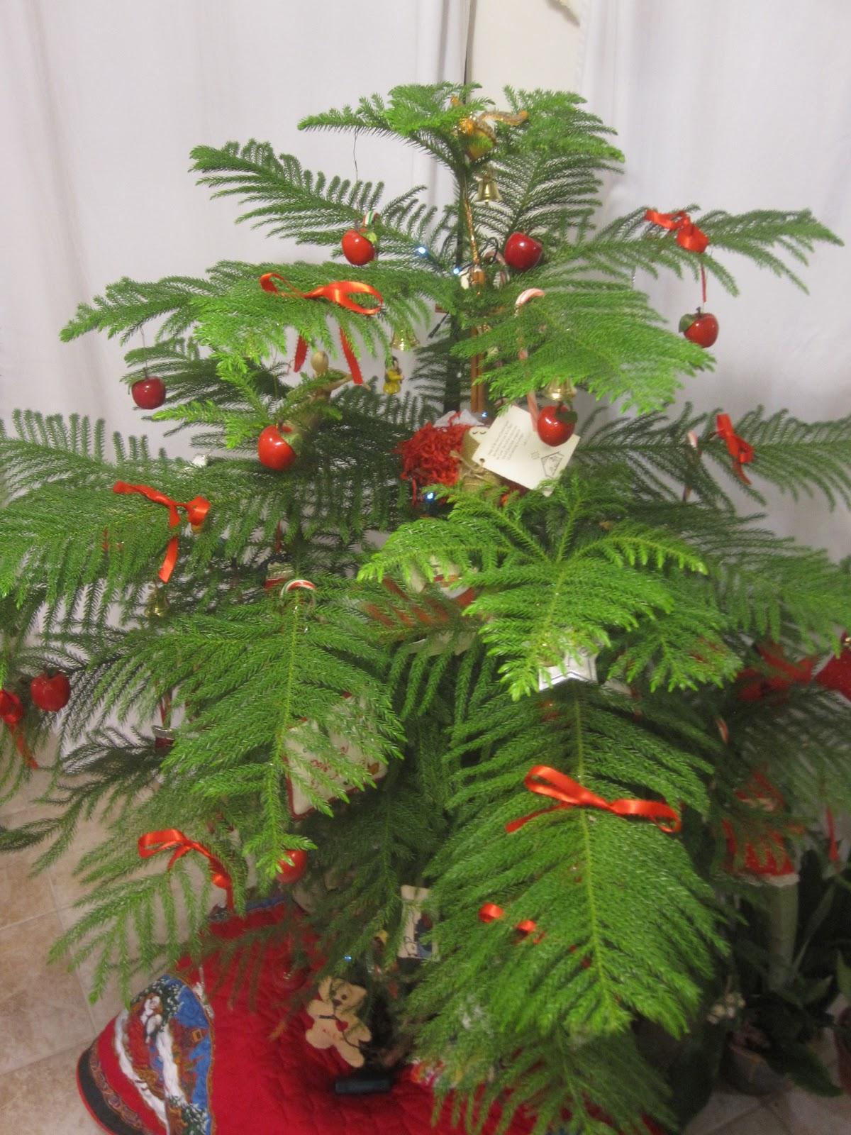 Tropical Texana: NORFOLK ISLAND PINE CHRISTMAS TREE ~ THIS YEAR\'S TREE