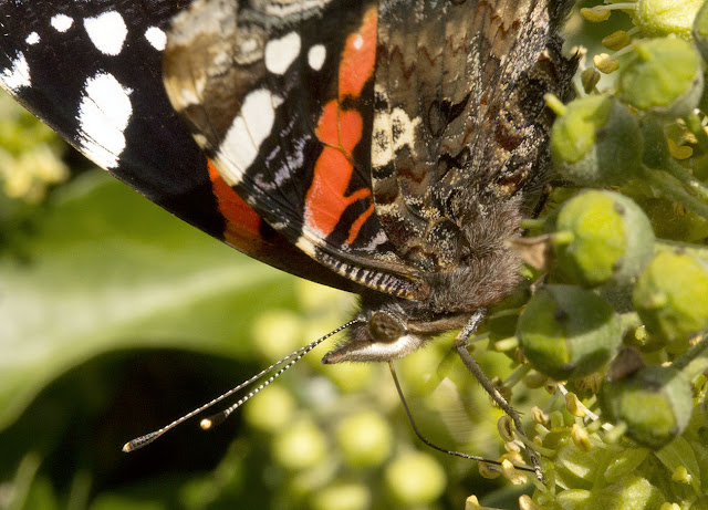 Red Admiral butterfly, Vanessa atalanta.  Detail.  Gates Green Road, Coney Hall, 10 September 2011.
