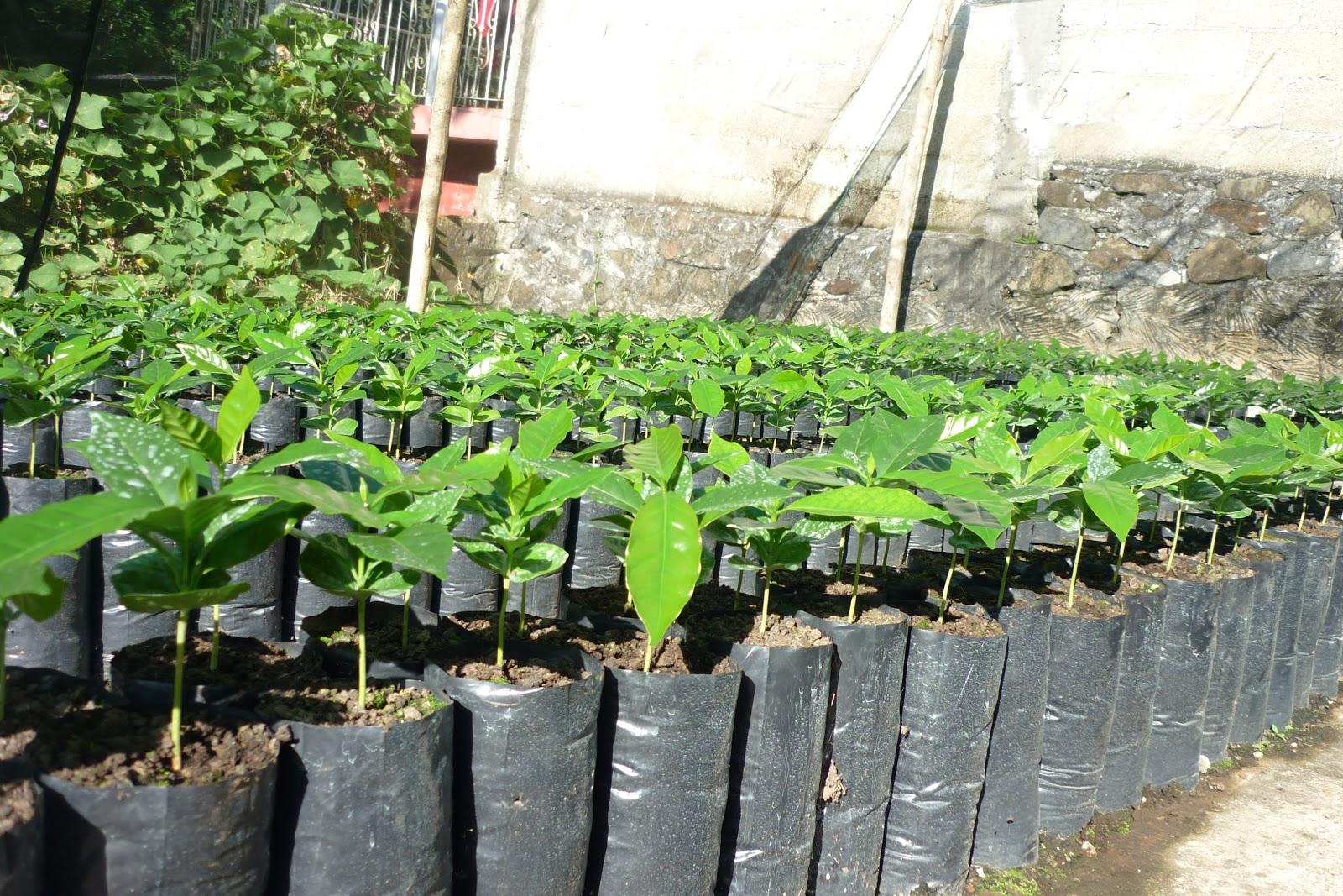 Caf campo y ambiente planeacion de planteles de caf y for Vivero de cafe pdf