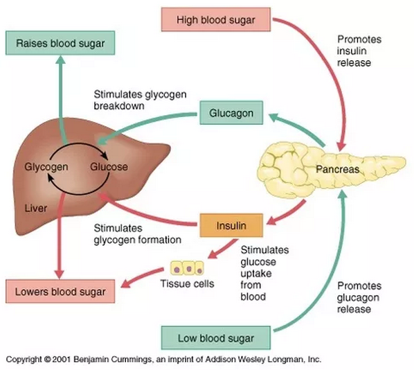 113 The Control Of Blood Glucose
