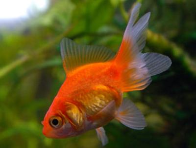 Fantail Goldfish 1