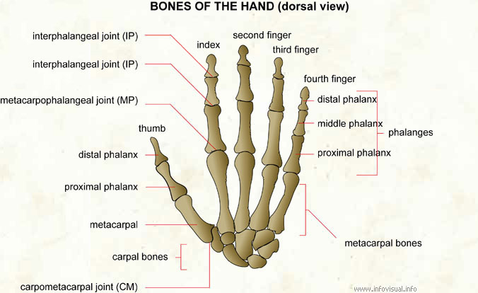 Anatomy of finger joints