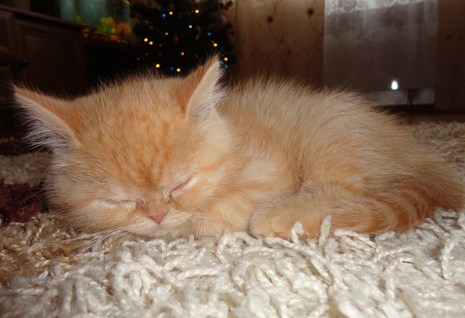 Гром, котик, кот, рыжий кот, котик спит, спящий котенок