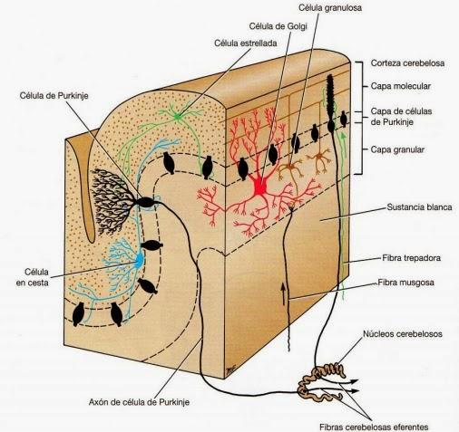 Morfofisiologia I: NEUROANATOMIA