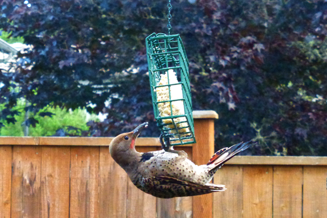 woodpecker, red shafted flicker, bird, backyard bird