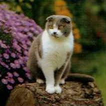แมวสก็อตติชโฟลด์