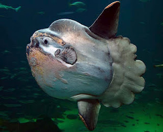 Το βαρύτερο ψάρι στον κόσμο!