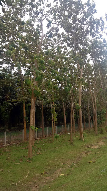 Jati tree, teak tree, tropical wood, tropical tree, Southeast asia tree, jungle, gardening, malaysia tree, tree plantation, furniture tree, shipbuilding wood,