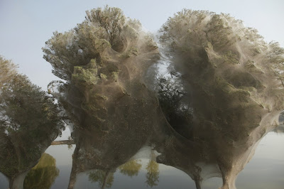 Spiderwebs in Pakistani trees after 2010 floods  9 Images