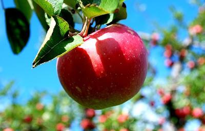 Manfaat Buah Apel untuk Kesehatan