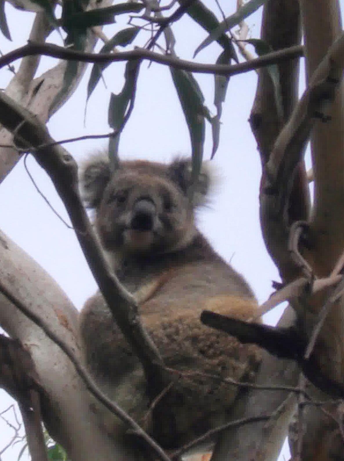 Australien, OZ, Frollein Pfau, Koala Bär