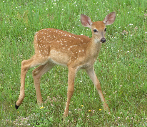 whitetail fawn