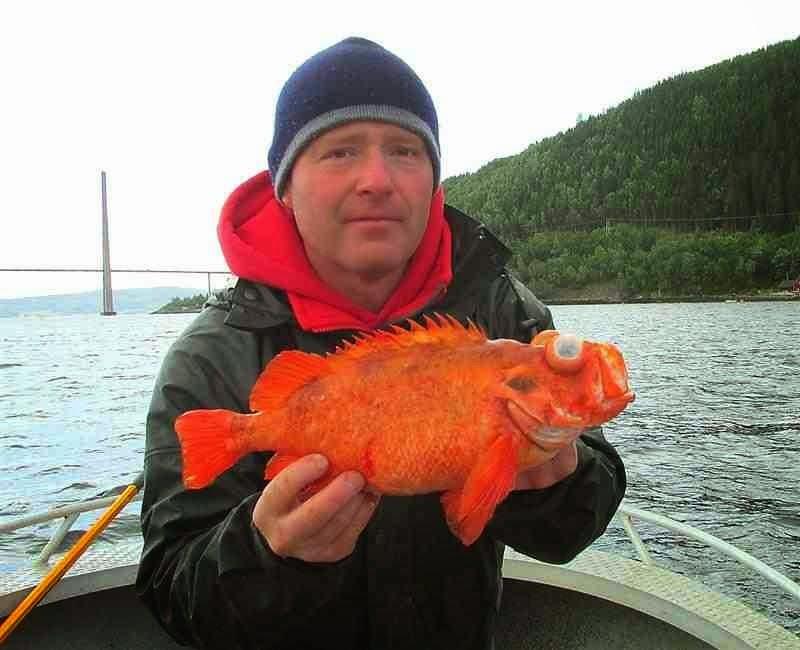 Norwegian redfish 3lb
