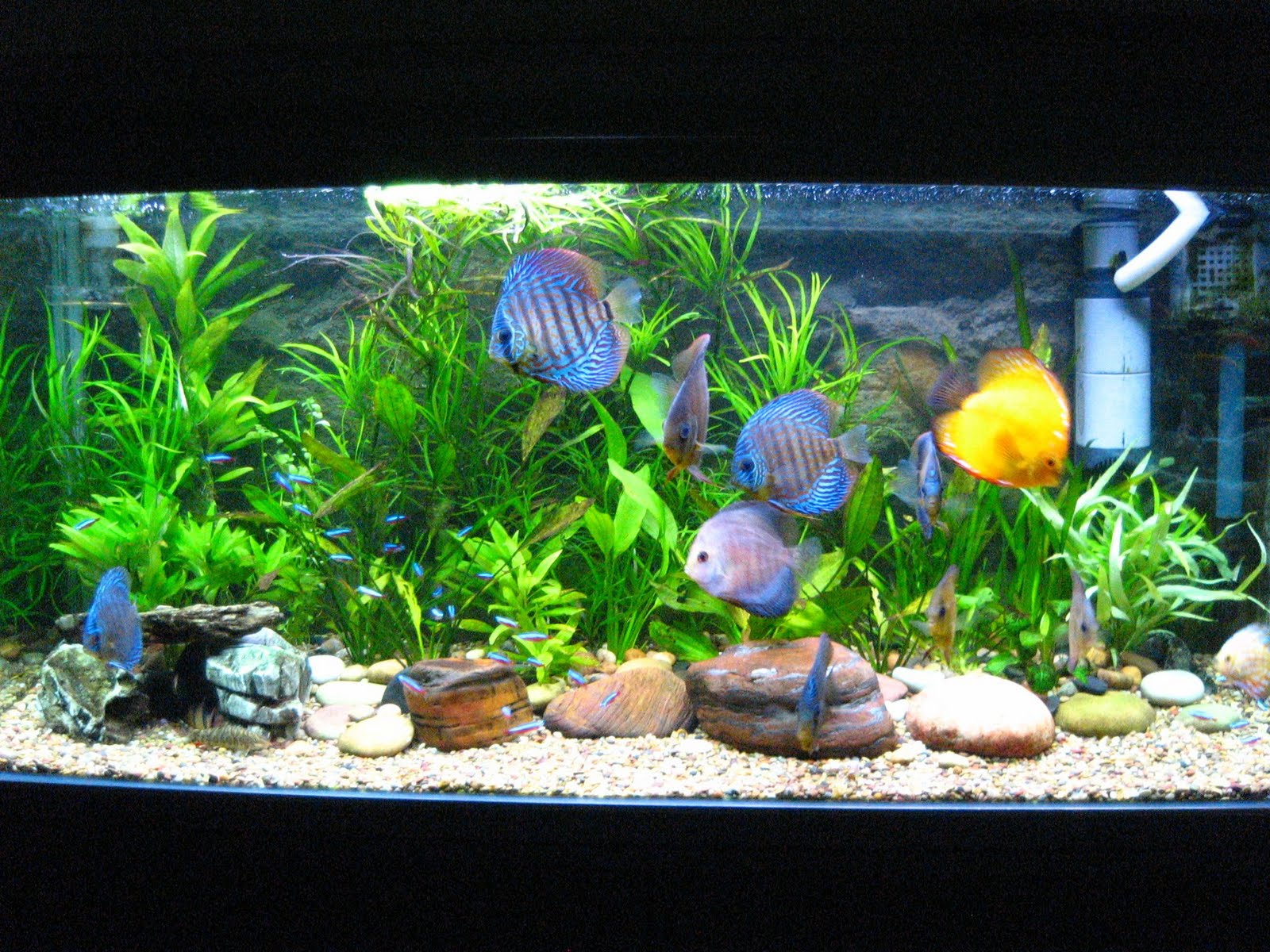 freshwater fish for aquariums freshwater aquarium fish
