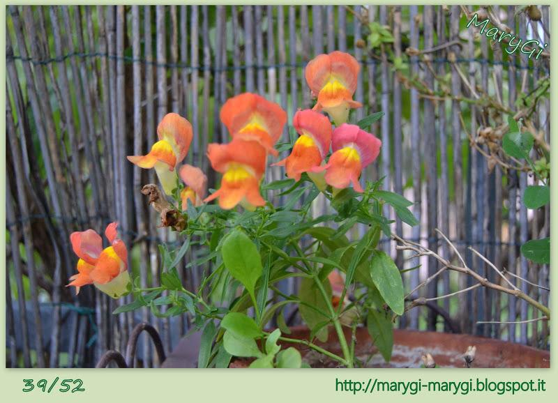 Marygi 52 week project for Bocca di leone in vaso