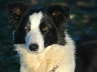 young puppy pictures of border collie