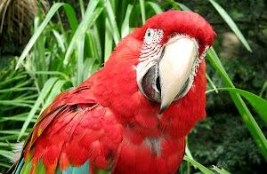 Paraba Roja