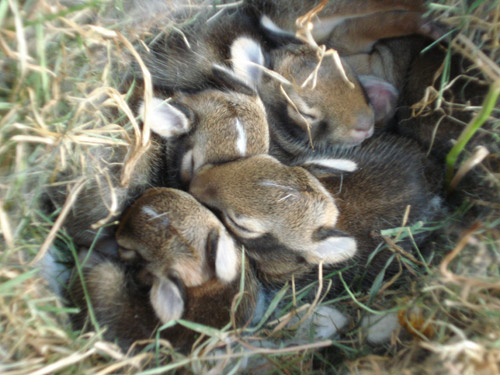 Sickles Market Blog: Baby Rabbits in the House
