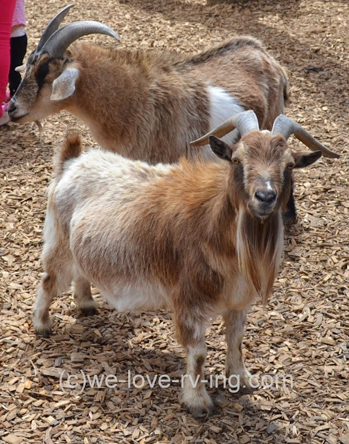 This appears to be a pregnant pygmy goat