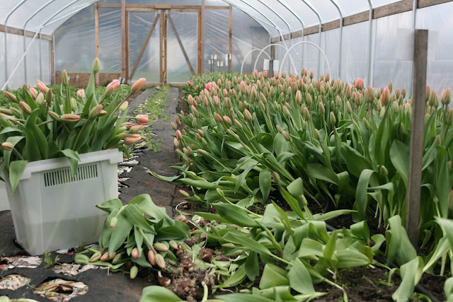 how to grow tulips in sydney