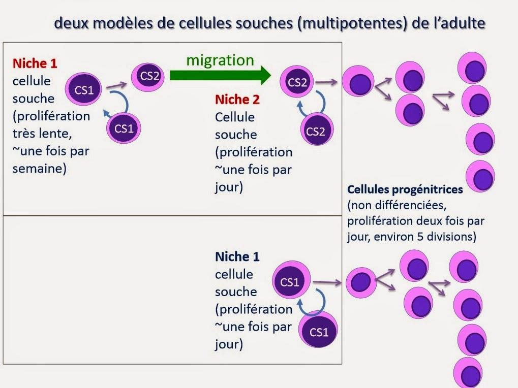 cellule totipotente