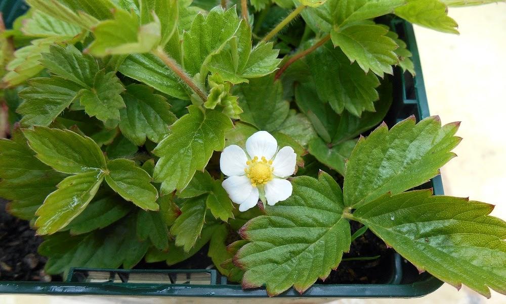 cultivar fresones en macetas