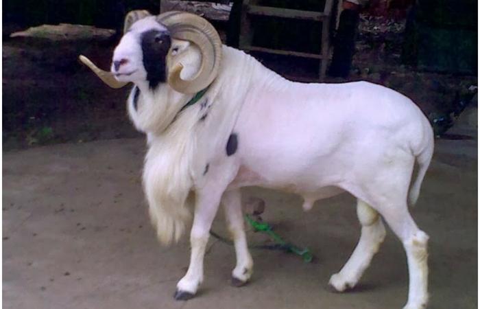 Hasil gambar untuk domba garut