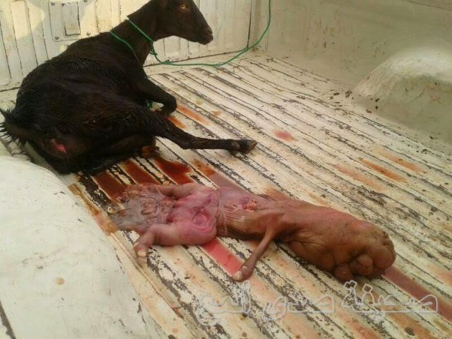 صدق أو لا تصدق بالصور : خروفة تلد مولودا بشرا ببكاء الأطفال