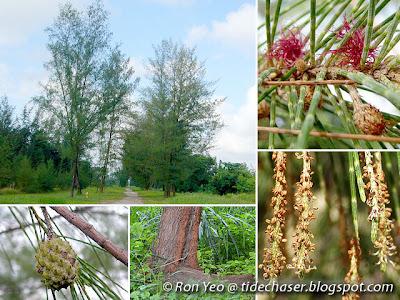 Ru (Casuarina equisetifolia)