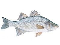 White Perch Fish Pictures