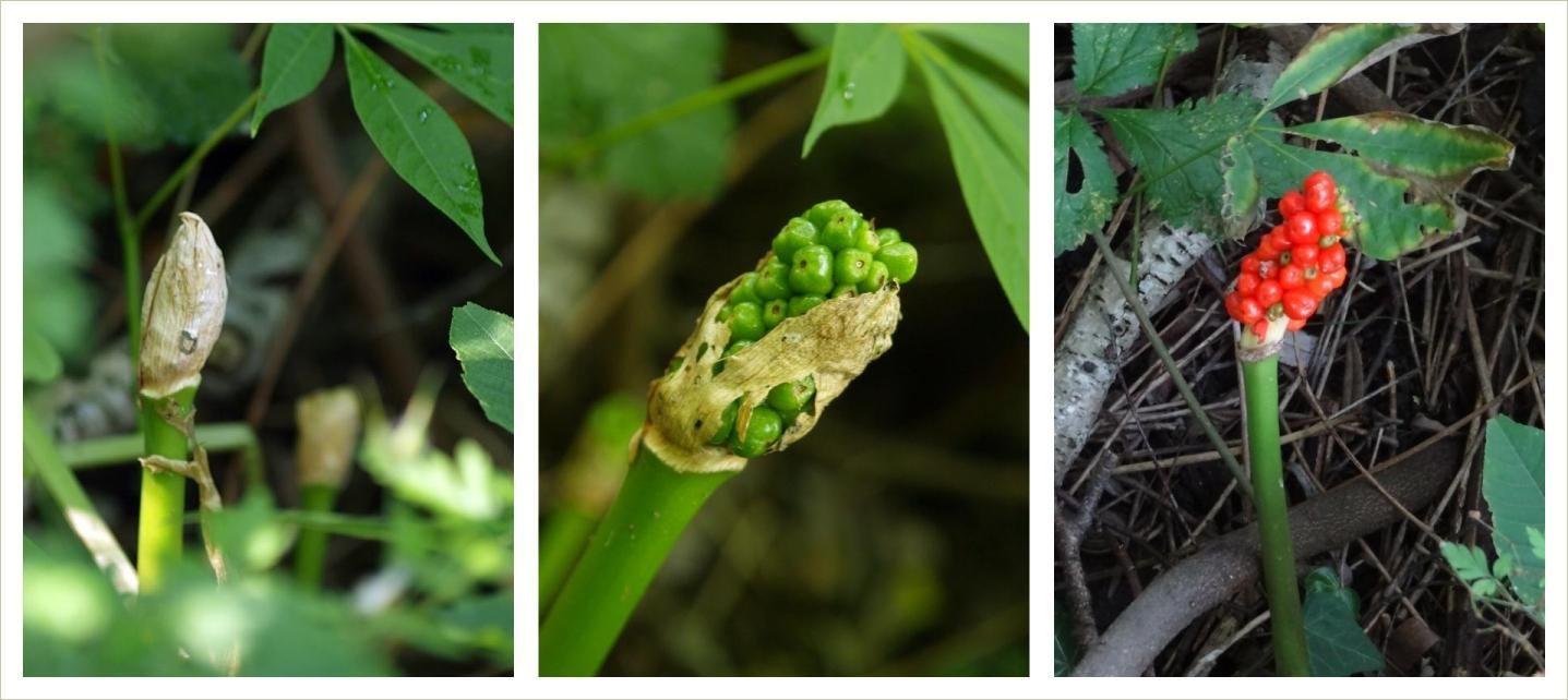 Foto: Arum maculatum Fruchtstand zwischen Mai und Oktober