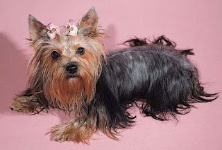 yorkshire terrier puppy yorkie dog animal pets