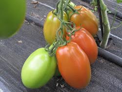 """tomates """"PERA"""""""