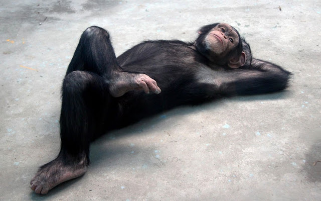 A chimp lying on the ground with its legs crossed and a hand behind its head, soaking up the sunshine, funny chimpanzee picture, cute chimpanzee, cute animal, animal acts like human