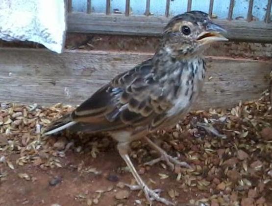 cara menjinakan burung branjangan