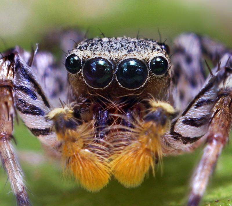 Curiosidades del reino animal: Animales curiosos, la araña saltadora