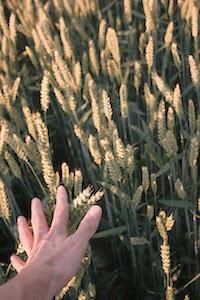 A képen: Aratásra váró érett gabona