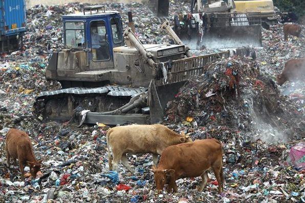 Lembu dibela di tempat buangan sampah dan makan sampah