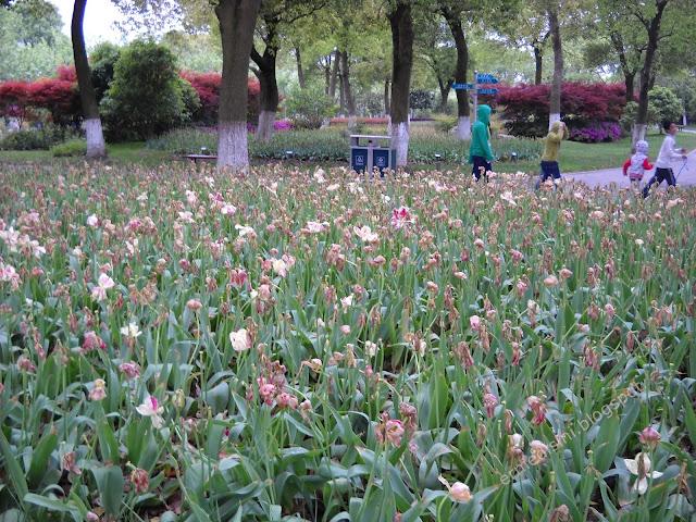 tulips shanghai