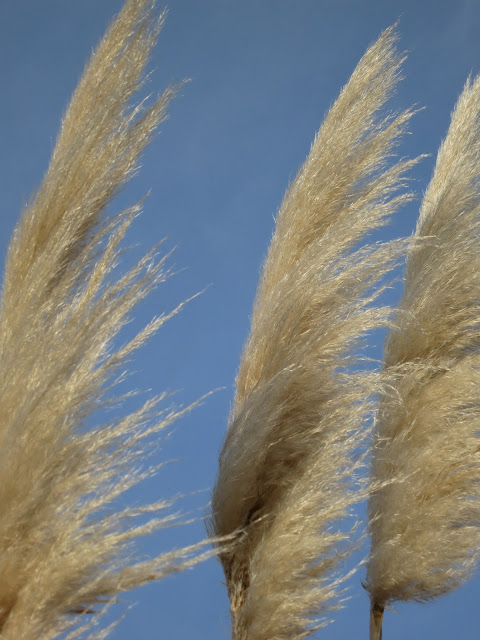 Three pampas grass flowers swaying in wind against blue sky.