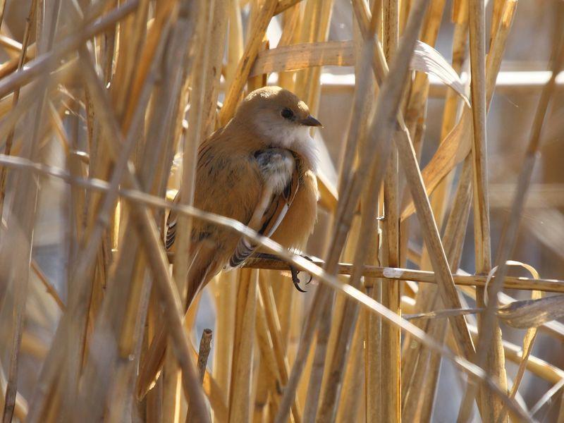 Birding Is Fun !: Panurus biarmicus - Bigotudo (Bearded Reedling)