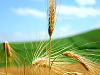 Wheat-wallpaper