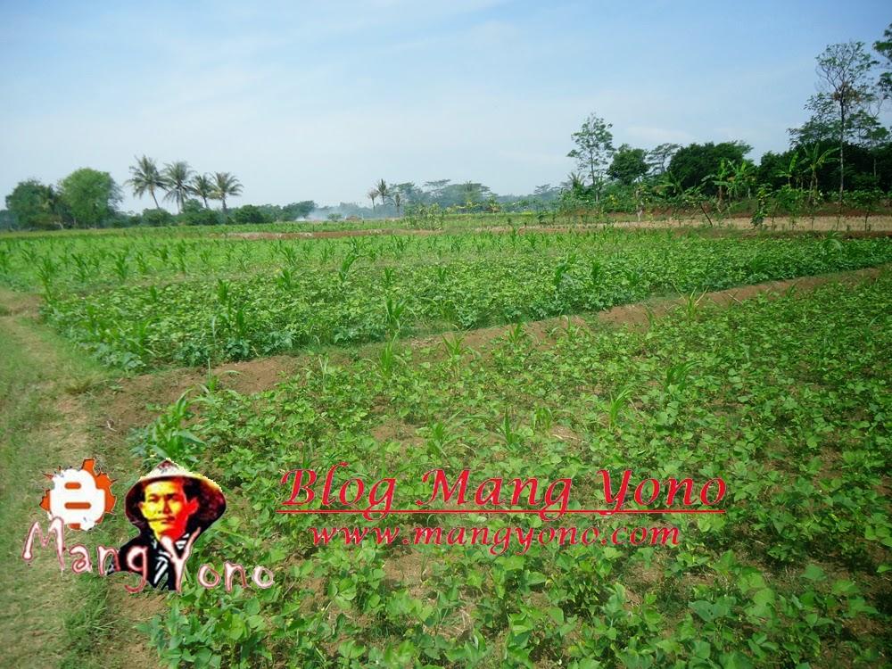 Tanaman Kacang Ijo dan Jagung, Kacang tunggak ditanam dibagian pinggir keliling