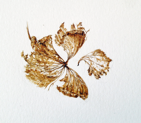 Hydrangea Botanical Drawing