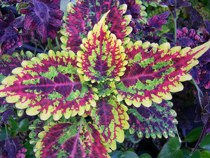 Just Say Know: Strategies for Harm Reduction: Rare Drug Profile: Coleus