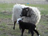 Shetland  Ewe & Lamb